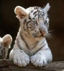 dm_tiger